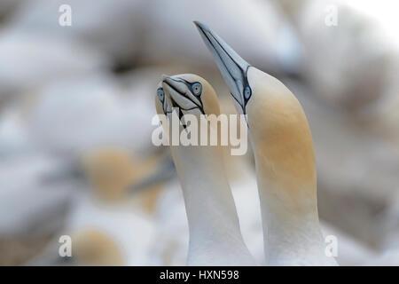 "Pair of northern gannets (Morus bassanus) in ""bill fencing"" greeting display. Great Saltee island, co Wexford, Ireland. - Stock Image"