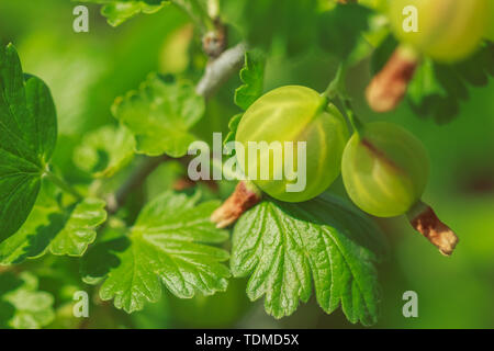 Close-up ripe green gooseberry berries on a bush - Stock Image