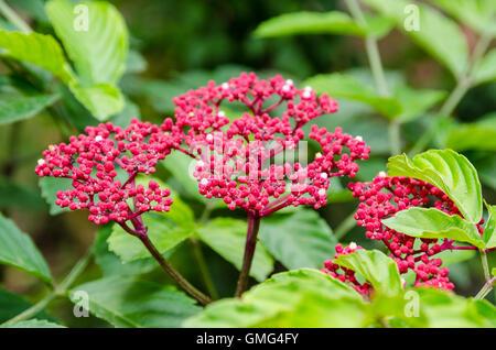 Beautiful small red flowers on shrub of Leea Rubra or Red Leea plant - Stock Image