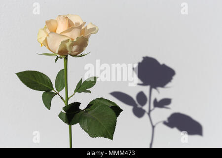 Light yellow / natural white rose with green leaves and stem. There is white background and also an interesting shadow. - Stock Image