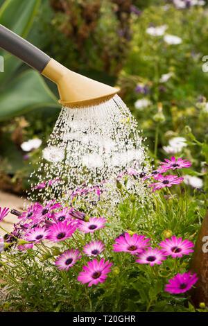 Detail of plastic watering can, watering African Daisies in mediterranean garden. - Stock Image