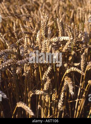Ears of corn cornfield Norfolk England - Stock Image
