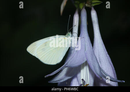 An imported cabbageworm butterfly on a Hosta blossom. - Stock Image