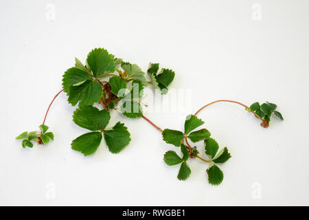 Strawberry (Fragaria x ananassa). Plant with runners. Studio picture against a white background. Germany - Stock Image