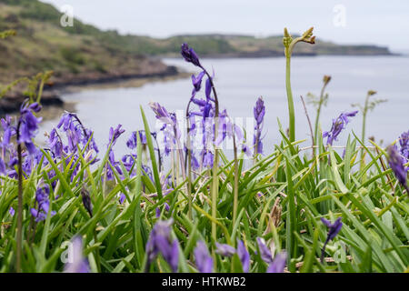 Bluebells flowering on seashore with Bracken fronds in early summer. Loch Scridain Isle of Mull Argyll & Bute - Stock Image