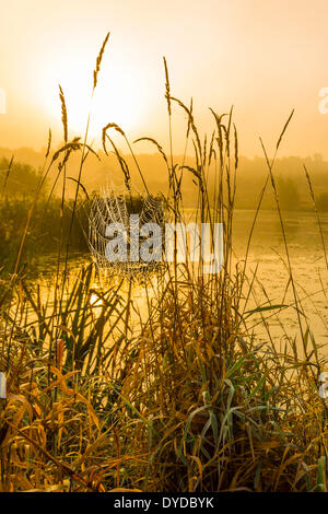 A cobweb between ears of grass. - Stock Image