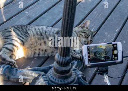Photographing a tabby cat on a mobile phone with a selfie stick - Stock Image