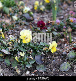 Plenty of pretty bright yellow pansy flowers blooming. Photographed in Nyon, Switzerland during a beautiful sunny spring day. Lovely, detailed photo! - Stock Image