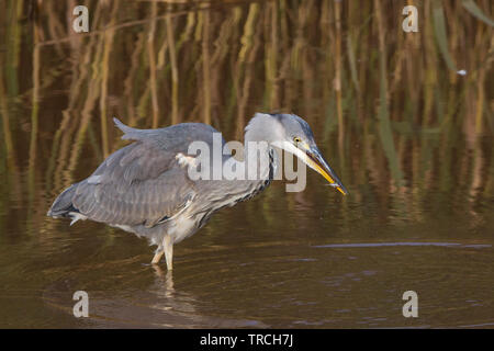 Detailed, close-up side view of wild, British grey heron bird (Ardea cinerea) isolated wading in shallow water in UK wetlands reedbed hunting for fish. - Stock Image