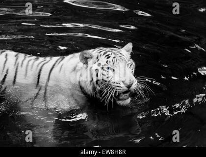 White Tiger at Singapore Zoo wading through the water - Stock Image