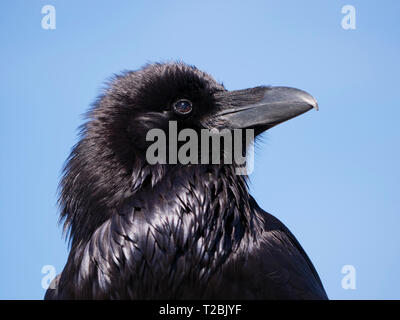 Common raven (Corvus corax), showing open nictitating membrane. Paired with image T@BJYF which shows open membrane. - Stock Image