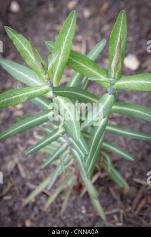 Euphorbia lathyris (Caper Spurge or Paper Spurge) - Stock Image