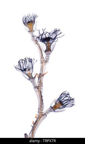 Marine Obelia or Sea Firs, Obelia sp. brightfield photomicrograph - Stock Image