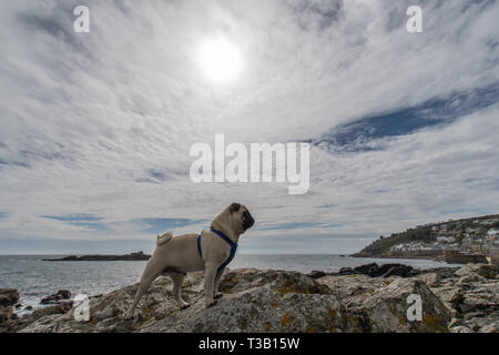 Mousehole, Cornwall, UK. 8th Apr, 2019. UK Weather. Titan the pug out surveying his domain, in a sunny but breezy Mousehole this afternoon. Credit: Simon Maycock/Alamy Live News - Stock Image