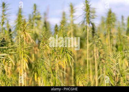 A closeup of mature industrial hemp stems and leaves - Stock Image