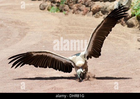 Vulture attacking - Stock Image