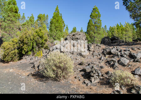 Trees growing in colorful volcanic dust rock at Llanos del Jable, La Palma Island, Canaries, Spain - Stock Image