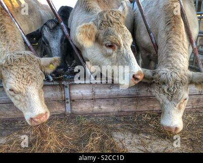Cows, feeding time - Stock Image