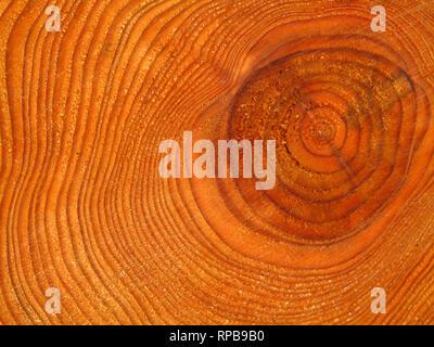 Tree growth rings in freshly cut pine tree trunk log - Stock Image
