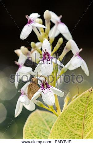 Pseuderanthemum reticulatum known as Yellow-Vein Eranthemum and Golden Pseuderanthemum - Stock Image