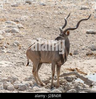 Africa, Namibia, Etosha National Park. Male kudu. Credit as: Wendy Kaveney / Jaynes Gallery / DanitaDelimont.com - Stock Image