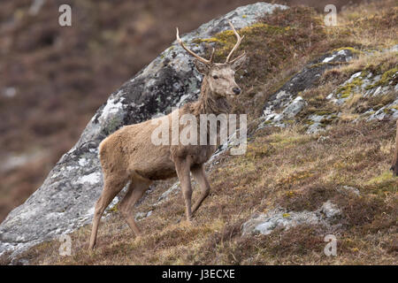 Red Deer stag at Strathconon, Scottish Highlands - Stock Image