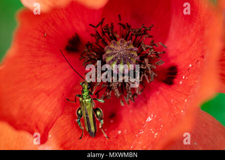 Thick-legged flower beetle (Oedemera nobilis) collecting nectar pollen from wild poppy flower - Stock Image