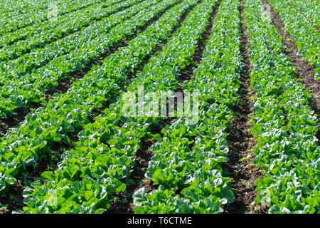 Farm field with rows of young fresh green romaine lettuce plants growing outside under greek sun, agriculture in Greece. - Stock Image