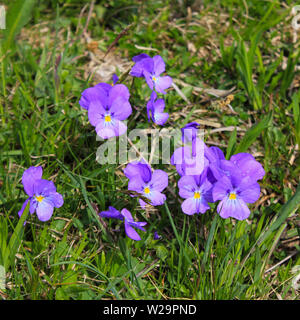Spurred violet, wild flower growing in the Alps. - Stock Image