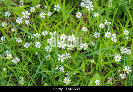 White buttercups bloom among the grass in the forest - Stock Image