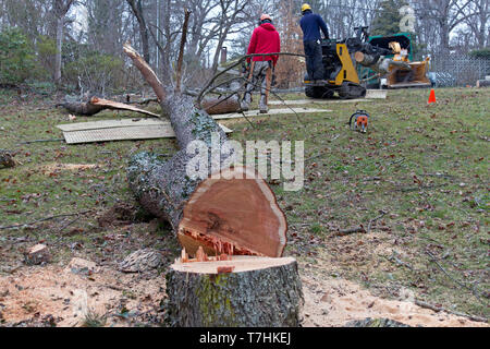 An old cherry tree cut down by professional arborists is being cut up and fed into a wood chipper on a winter's day - Stock Image