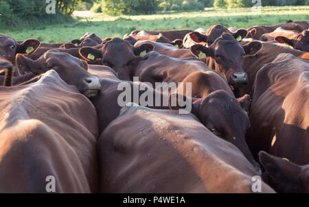 Young red poll cattle crowded together, Sutton, Suffolk, England, Uk - Stock Image
