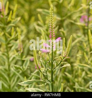 Light Purple Flowering Plant against Green Background - Stock Image