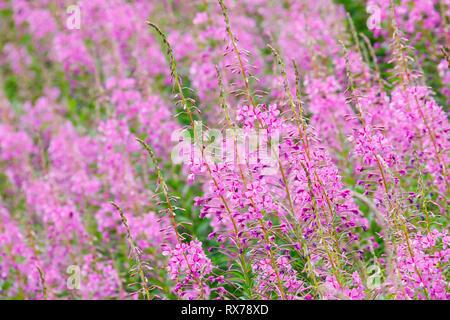 botany, fireweed, Epilobium angustifolium, Switzerland, Additional-Rights-Clearance-Info-Not-Available - Stock Image