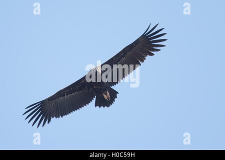 Black Vulture over Monfragüe National Park - Stock Image