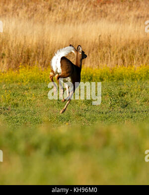 A running white-tailed deer with tail in alarm posture in a field near Sussex, Kings County, New Brunswick, Canada. - Stock Image