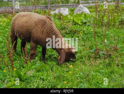Young brown sheep - Stock Image