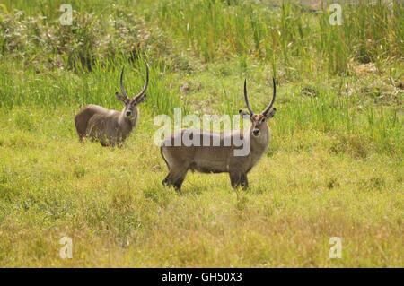zoology / animals, mammal (mammalia), two masculine Defassa waterbucks (Kobus ellipsiprymnus defassa), Serengeti - Stock Image