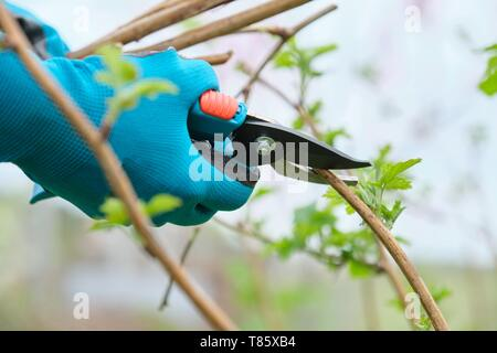 Closeup of hands doing spring pruning of raspberry bushes, gardener in gloves with garden pruner - Stock Image