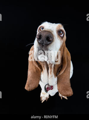Wide-angle shot of a Basset Hound looking upwards inploringly against a dark studio background - Stock Image