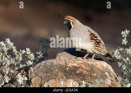 USA, Arizona, Amado. Male Gambel's quail on rock. Credit as: Wendy Kaveney / Jaynes Gallery / DanitaDelimont.com - Stock Image