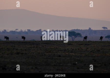 Western White-bearded Wildebeest (Connochaetes taurinus mearnsi) at dawn - Stock Image