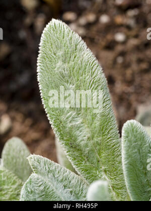 Lamb's Ears (Stachy's byzatina): The fuzzy leaves of this succulent are a joy to stroke. - Stock Image