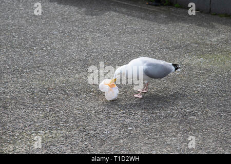 Herring Gull  Larus argentatus scavenging for food left by tourists on a seaside promenade - Stock Image