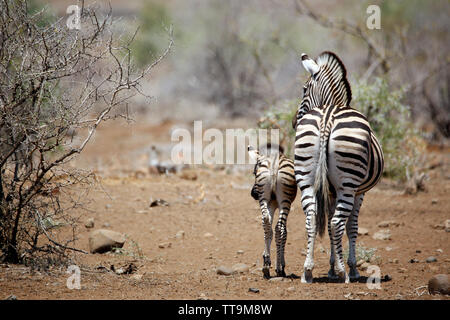 Burchell's Zebra (Equus burchelli) with Foal. Timbavati, Kruger Park, South Africa - Stock Image