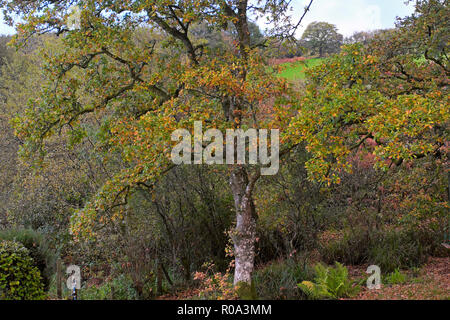 Colourful autumn leaves on oak trees in late October in Carmarthenshire countryside in rural Wales UK  KATHY DEWITT - Stock Image