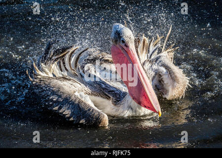 A Pelican splashing water to clean its feathers. - Stock Image