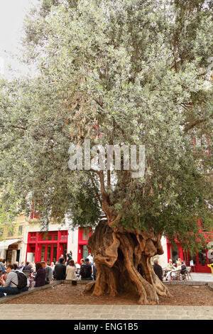 Old olive tree in Plaza de Cort, Palma de Mallorca - Stock Image