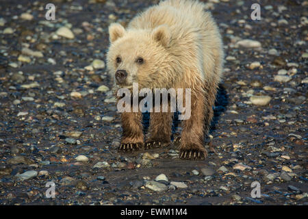 Front view of a Cute Grizzly Bear Spring Cub, Ursus Arctos, standing on tidal flats, Lake Clark National Park, Alaska, - Stock Image