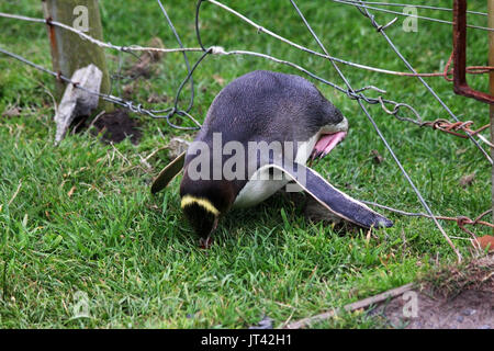 Yellow-eyed Penguin (Megadyptes antipodes) crossing a fence in the nature reserve (photo series 4 of 5) - Stock Image